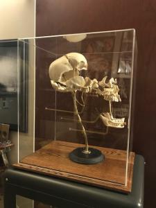 expanded skull in case